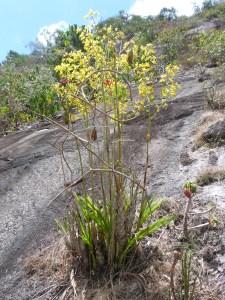 Orquídea rupícola em Joaquim Gomes, Alagoas